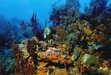 Здоровые коралловые рифы отличаются чрезвычайным разнообразием обитающих здесь животных и растений. Фото с сайта www.safmc.net