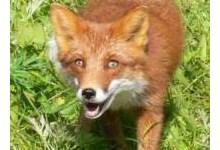 9567-fox.jpg
