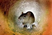 9567-rat2.jpg
