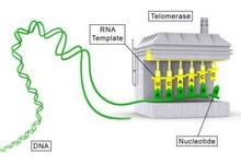 9567-telomerase.jpg