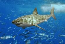 9567-white_shark.jpg
