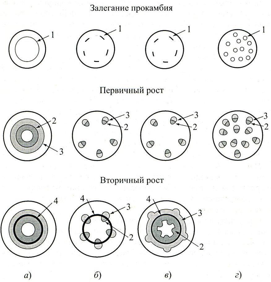 Анатомическое строение вторичных утолщений стебля