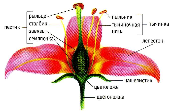 buketi-zhenskie-i-muzhskie-hromosomi-cheloveka