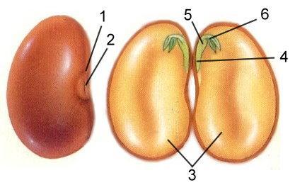 Какую роль играют разные части семени