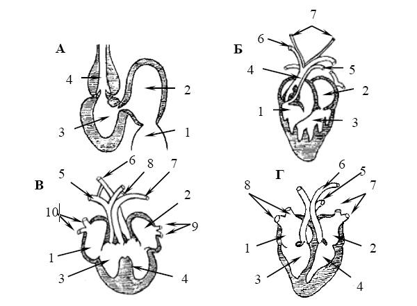 Эволюция сердца позвоночных