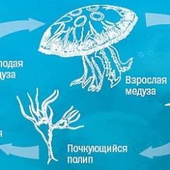 размножение медуз