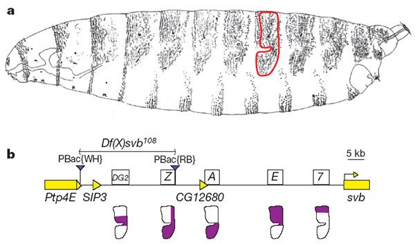 регуляторная облась гена