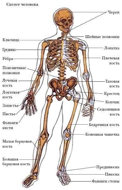 Основные структурные элементы скелета кости и суставы что кушать для смазки суставов