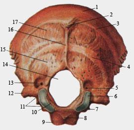 Затылочная кость (вид спереди)