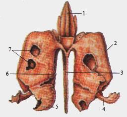 Решетчатая кость (вид сзади)