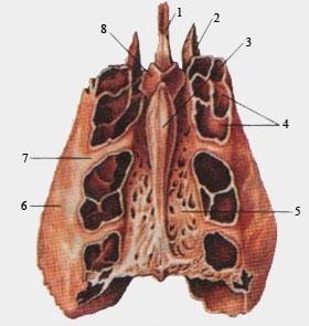 Решетчатая кость (вид сверху)