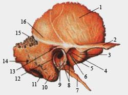 Височная кость (вид справа, наружная поврхность)