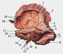Височная кость (внутренняя поверхность)