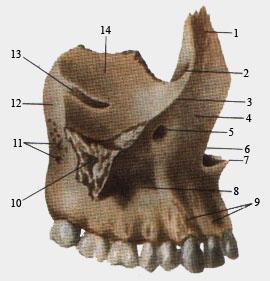 Верхнечелюстная правая кость (вид сбоку)