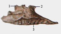 Нижняя носовая раковина (вид со стороны полости носа)
