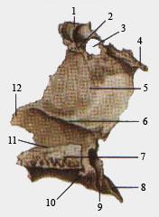 Небная кость (вид с медиальной стороны)