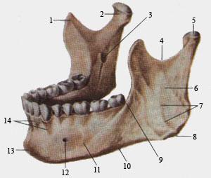 Нижняя челюсть (вид сверху и слева)