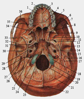 Наружное основание черепа (вид снизу)