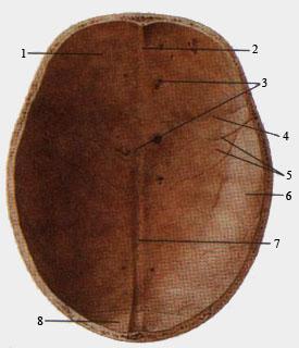 Крыша (свод) черепа (вид со стороны полости черпа)