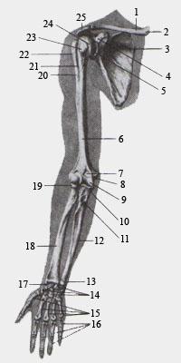 Скелет (кости) верхней конечности. Вид спереди.