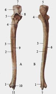 Локтевая кость.
