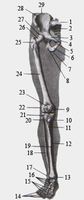 Скелет (кости) нижней конечности. Вид спереди.