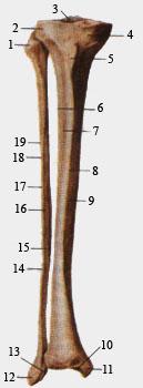 Большеберцовая и малоберцовая кости. Вид спереди.