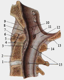 Срединый атлатно-осевой сустав. Сагиттальный разрез.