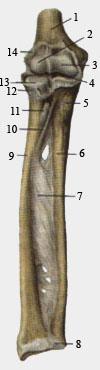 Локтевой сустав и соединения костей предплечья.