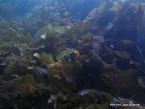 Заросли бурых водорослей— основа богатейших прибрежных экосистем северной Атлантики и Пацифики (фото ©Marek Trapper Zajaczkowski с сайта www.iopan.gda.pl)