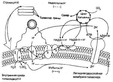 Реферат объяснение фотосинтеза с точки зрения физики 6700
