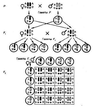 Схема, иллюстрирующая поведение гомологичных и негомологичных хромосом при дигибридном скрещивании.
