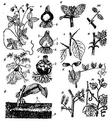 Видоизмененные стебли которые употребляются в еду