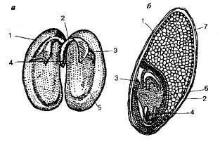 рисунок семени впр 6