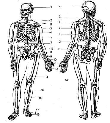 Скелет человека (спереди и